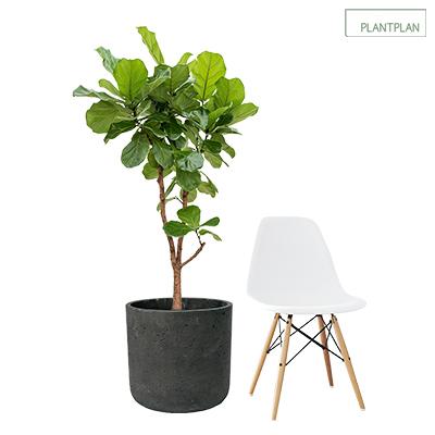 Image for 1 x Black, Concrete Effect Planter - Live Fiddle Leaf Fig - 1700mm