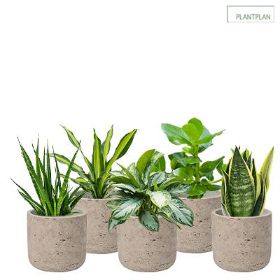 Obrázek pro Set of 5 x Grey, Concrete Effect Pots - Live Tropical Planting - 300mm