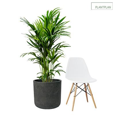 Image for 1 x Black, Concrete Effect Planter - Live Kentia Palm - 1700mm