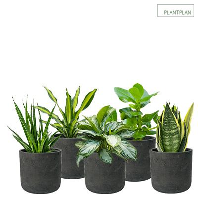 Obrázek pro Set of 5 x Black, Concrete Effect Pots - Live Tropical Planting - 300mm