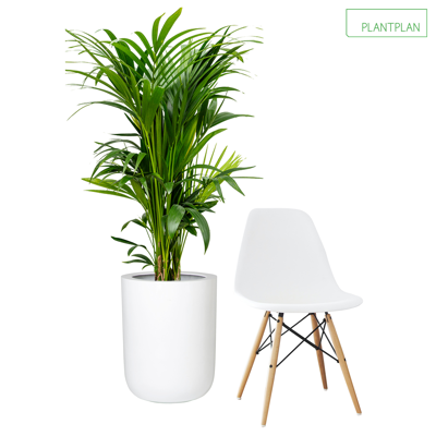 Obrázek pro 1 x White Gloss Planter - Live Kentia Palm - 1750mm