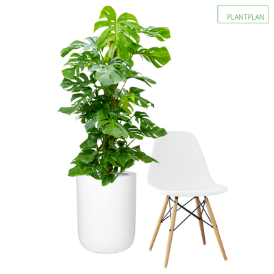 Obrázek pro 1 x White Gloss Planter - Live Monstera Deliciosa - 1750mm