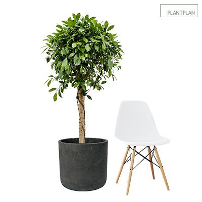 Image for 1 x Black, Concrete Effect Planter - Live Ficus Nitida - 1700mm