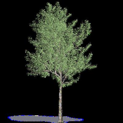 Image for Bluegum Eucalyptus