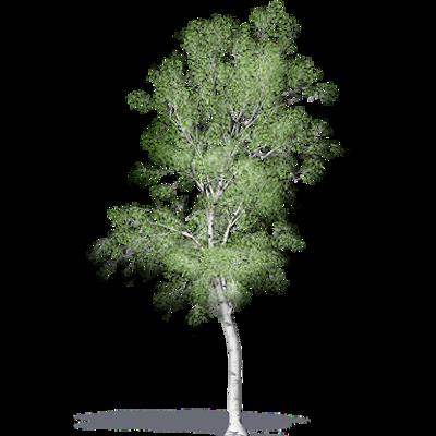 Image for White Birch