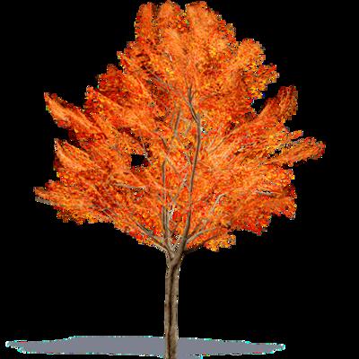 Image for Amur Maple