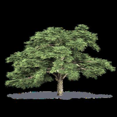 Image for Aleppo Pine