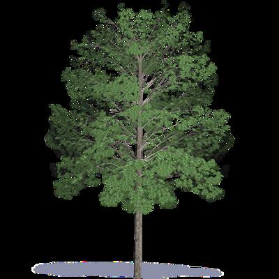 Image for Acacia hardwood