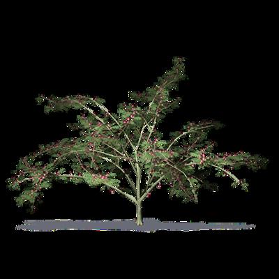 Image for Acacia retinodes