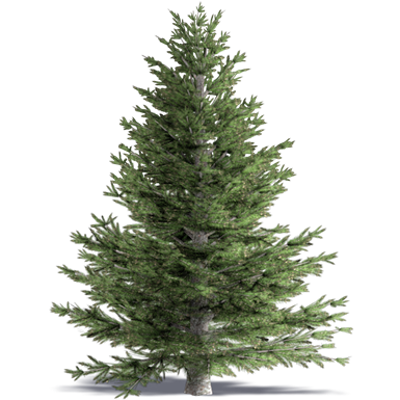 Image for White Fir Concolor Fir