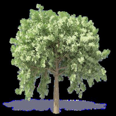 Image for Chestnut Tree 1