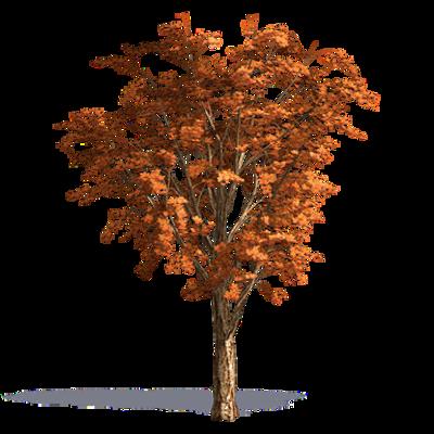 Image for Acer acuminatum