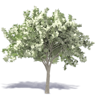 Image for Elm Tree 1