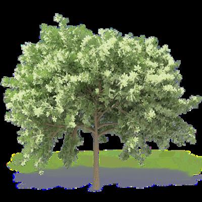 Image for Chestnut Tree 2