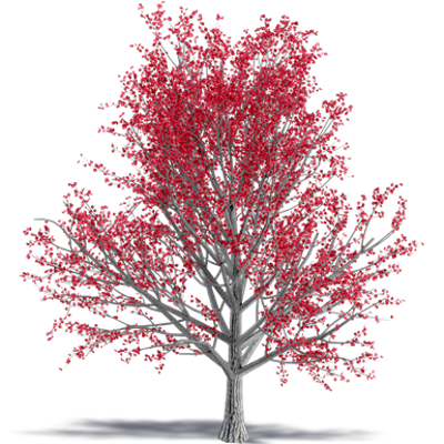 Image for Paperbark Maple